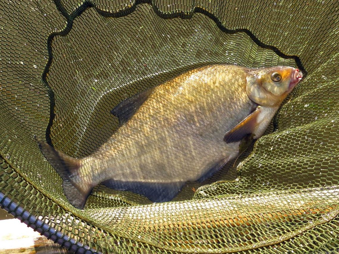 Bream from the River Avon at Saltford