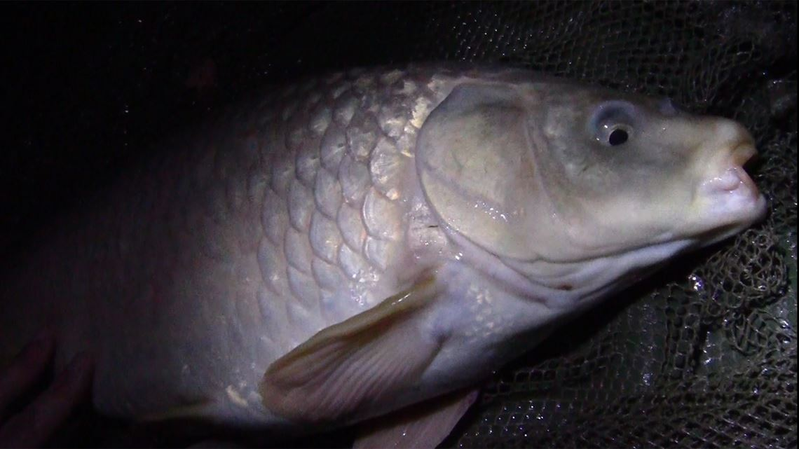 2nd Common Carp from Little Hayes at Todber Manor