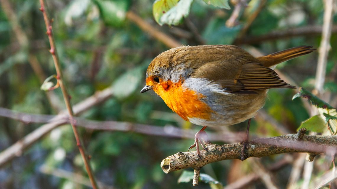 Robin red breast