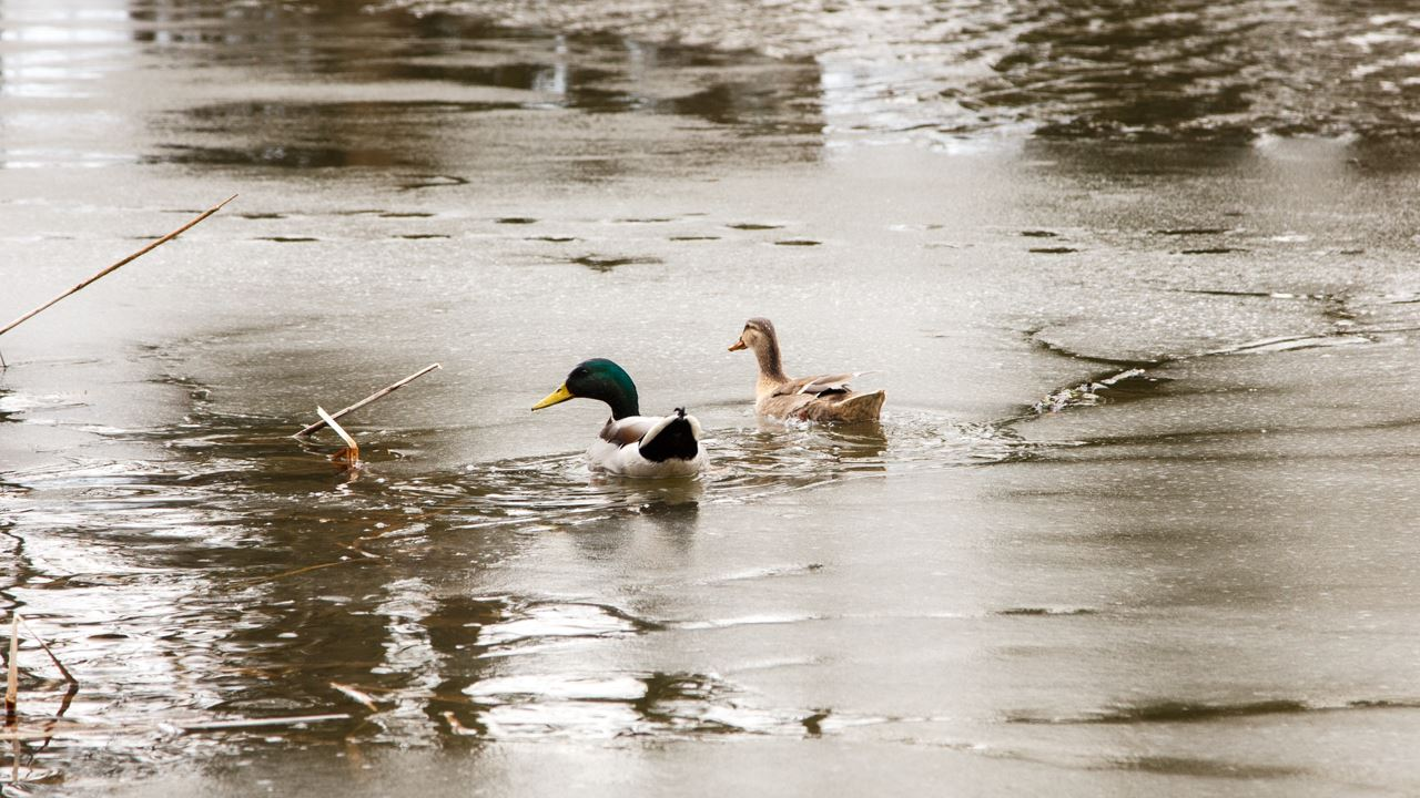 Frozen ducks