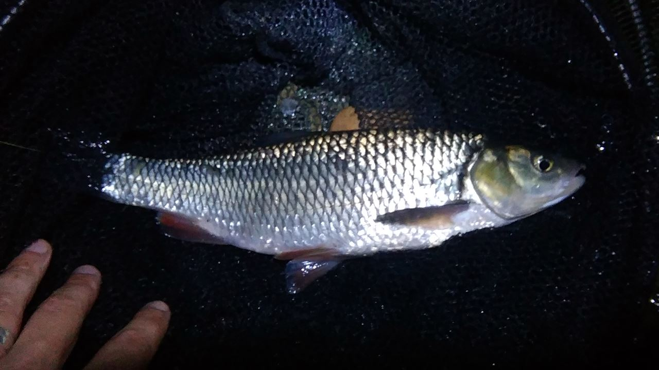 Chub caught from the River Avon at Saltford