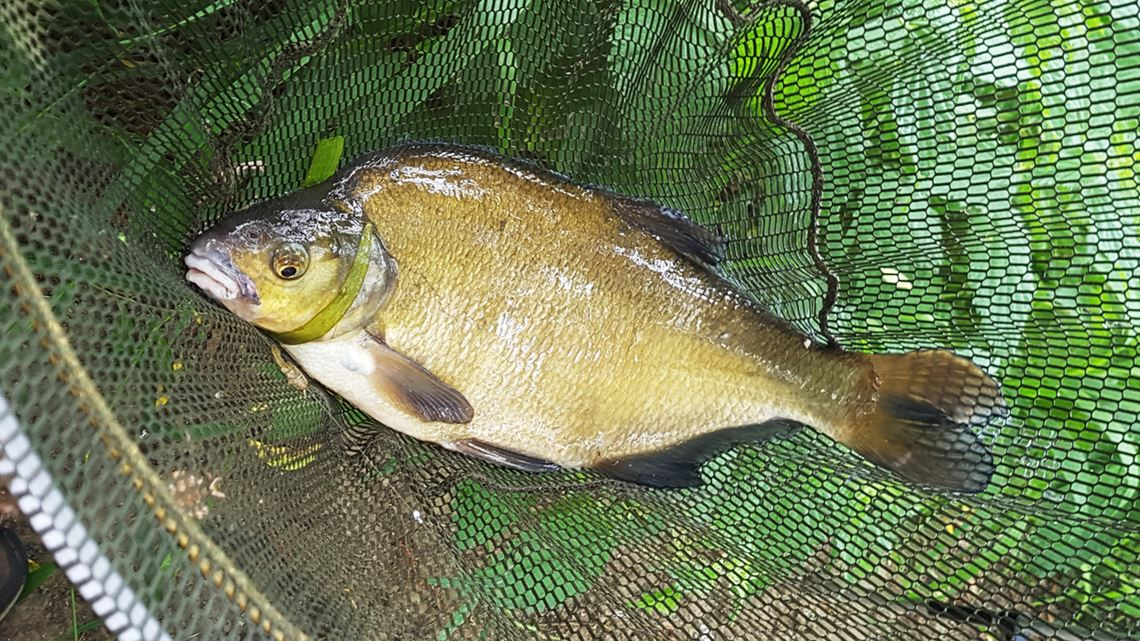 Bream caught from the Bristol River Avon at Swineford
